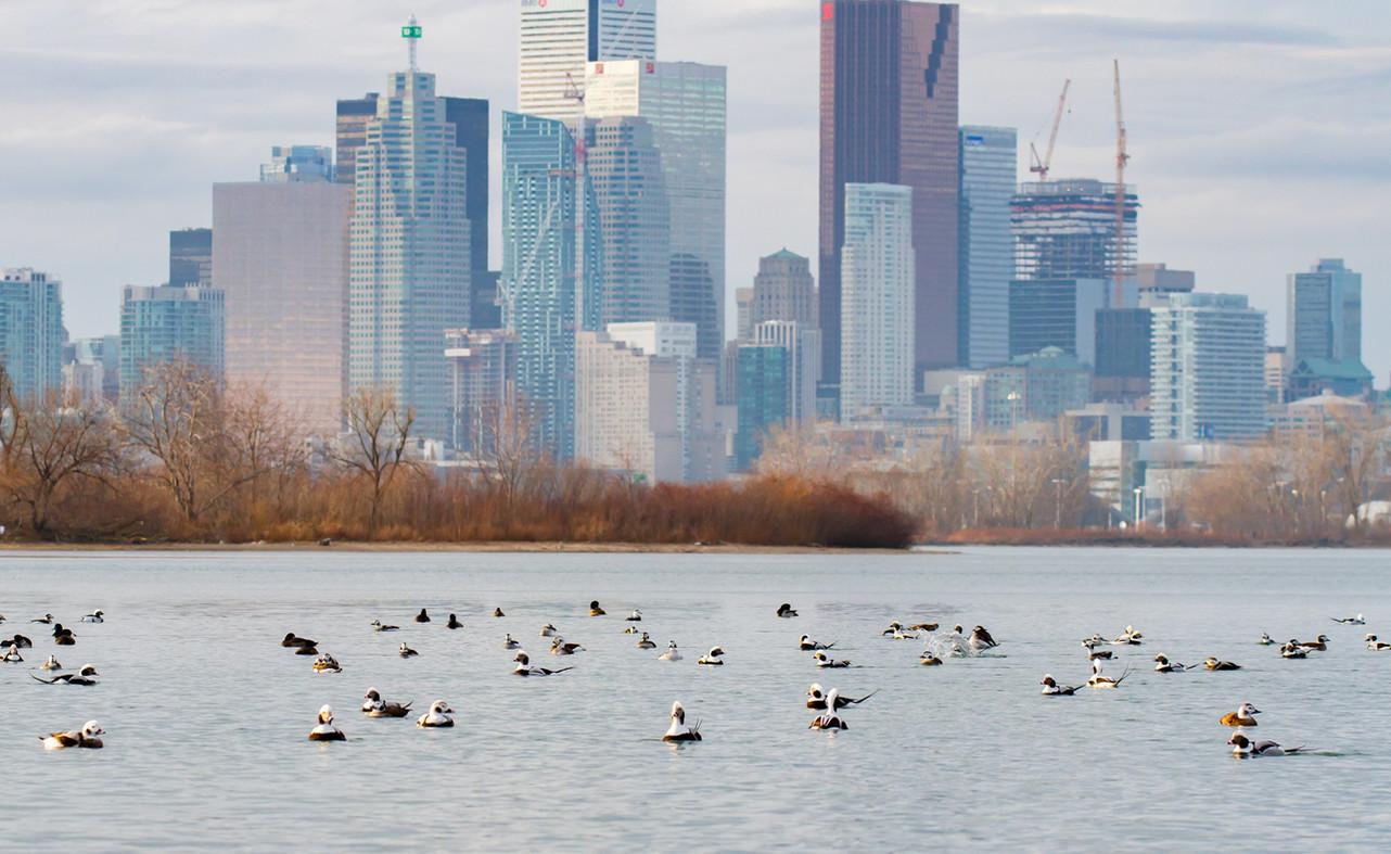 Les Hareldes de Toronto / Toronto's long-tailed duck