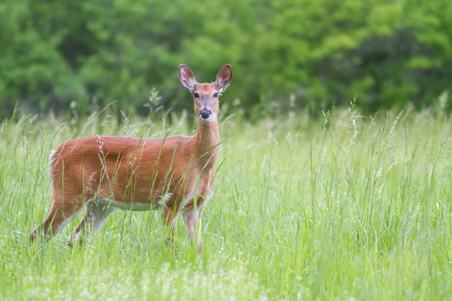Biche dans les herbes / Doe in tall grass
