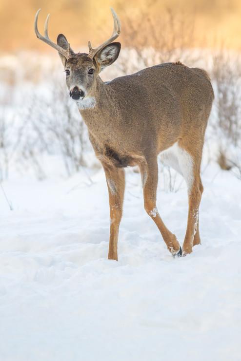 Cerf dans la neige/ Deer in the snow