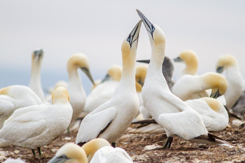 Fous en parade / Parading gannet