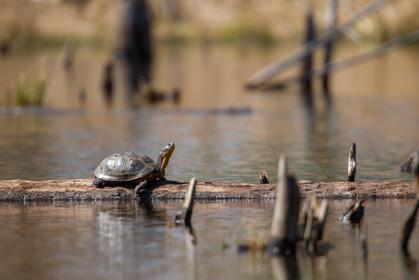 Tortue mouchetée / Blanding's turtle