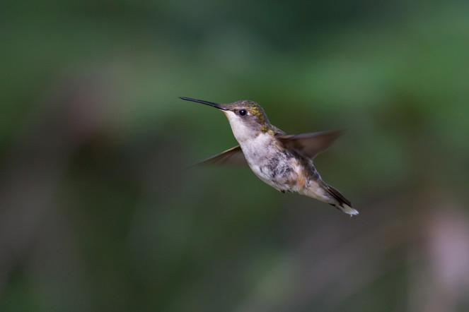 Colibri à gorges rubis / Ruby-throated Hummingbird