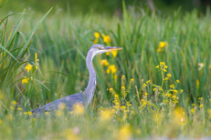Heron au milieu des iris