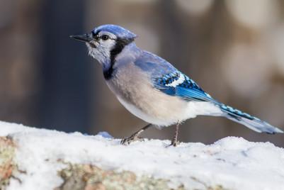 Geai bleu dans la neige / Snowy blue jay