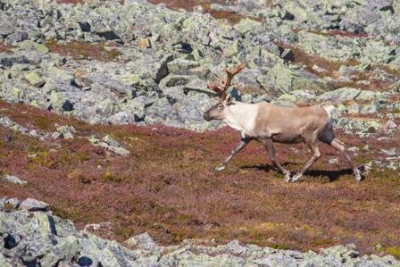 Caribou en ballade / Walking caribou