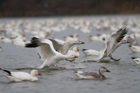 L'arrivée des oies des neiges / Arrival of Snow Geese
