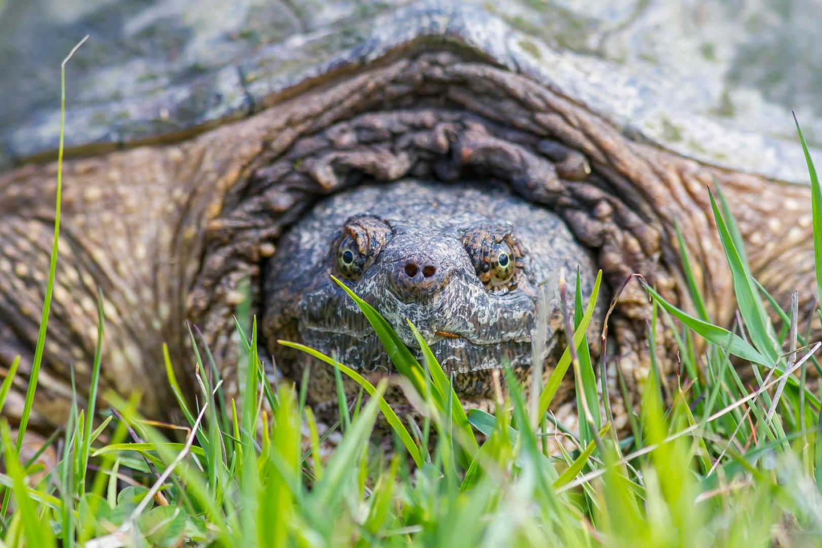 Portrait de Tortue serpentine / Snapping turtle portrait.