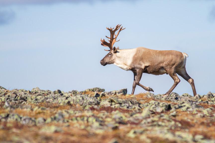 Caribou des bois / Woodland caribou