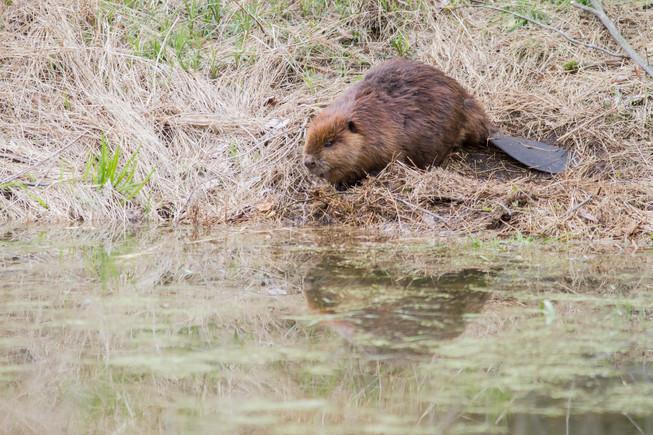 Le repos du castor / Beaver rest