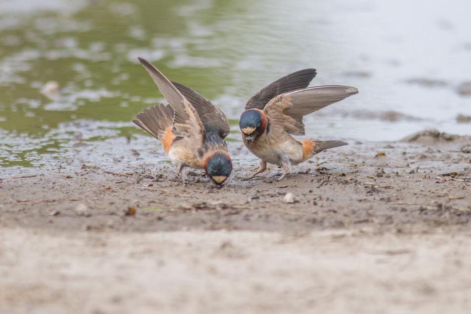 Hirondelle à front blanc / American cliff swallow