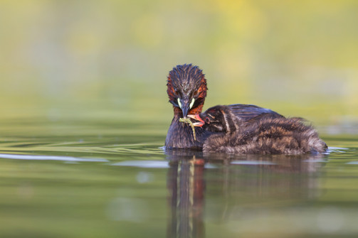 Grebe nourrisant son jeune