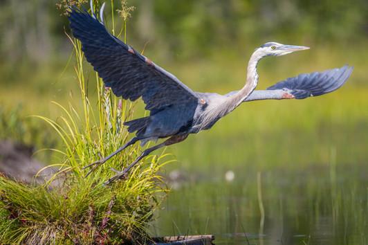 Le décollage du Grand héron / Great blue heron taking off