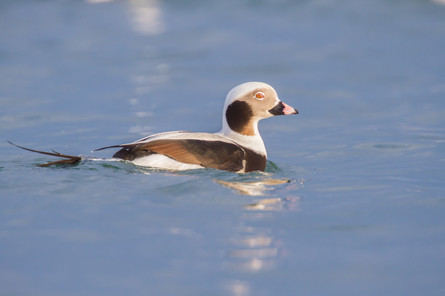 Harelde au couchant / Sunset Long-tailed duck