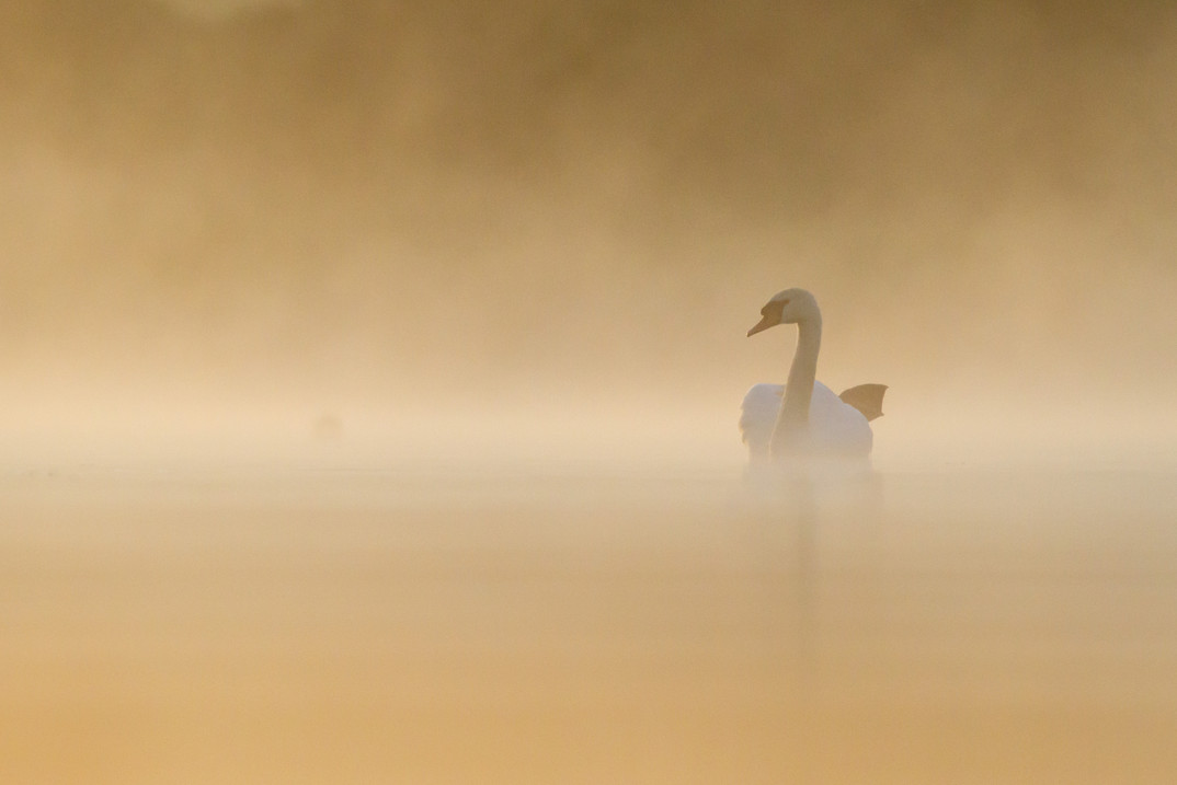 Cygne dans la brume