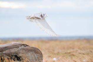 Harfang en vol/ Flying snowy
