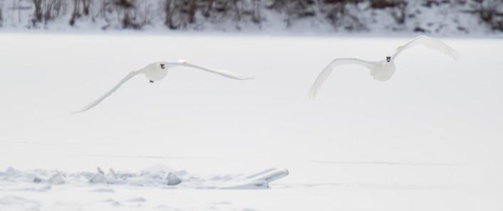 La course des cygnes / Swans race