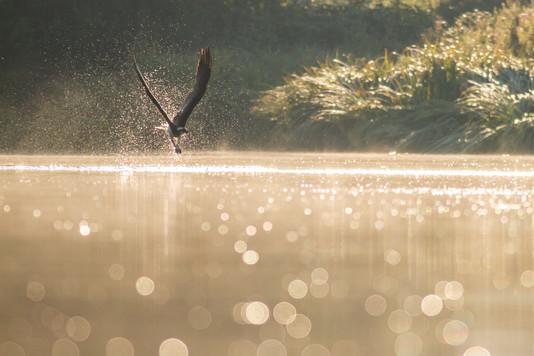 Balbuzard en pêche