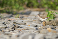 Le mimétisme du chevalier grivelé / Mimicry of the spotted sandpiper
