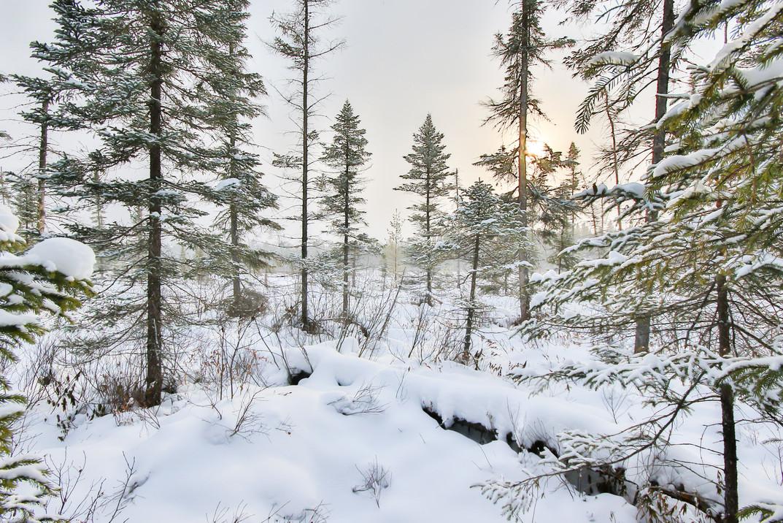 Forêt boréale sous la neige / Boreal forest under snow