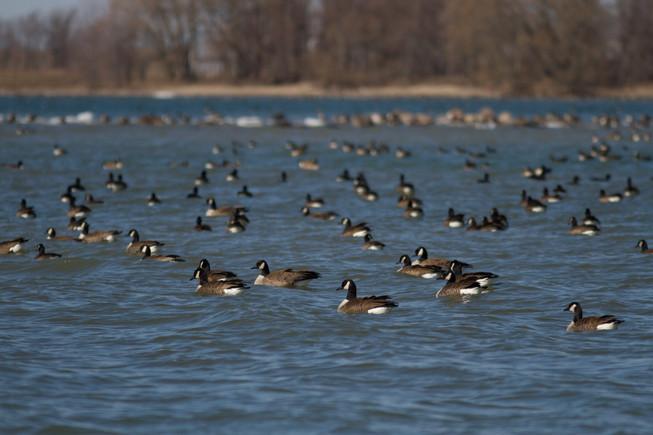 Une bernache, deux bernache... 100 bernaches...  / One goose, two geese...100 geese...