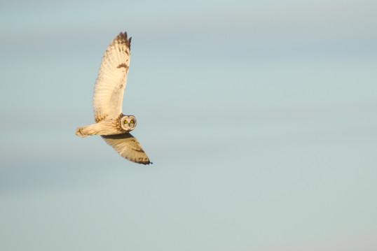 Hibou en vol / Short-eared flying