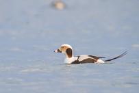 Harelde boréale (mâle) / Long-tailed duck (male)