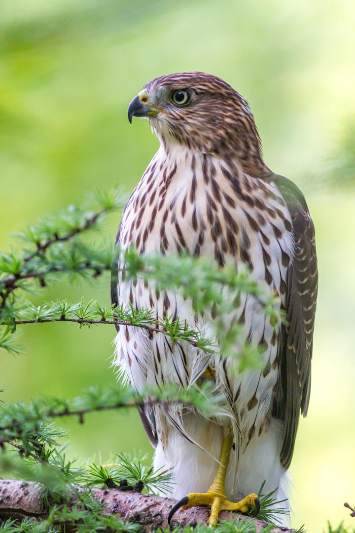 Epervier brun / Sharp-shinned Hawk