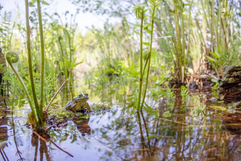 Grenouille verte dans son environnement / Green Frog in its environment