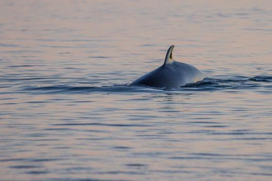 Petit rorqual au couchant / Minke whale at sunset