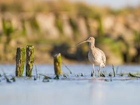 Courlis dans les marais
