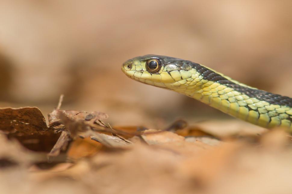 Portrait de couleuvre / Garter snake portrait