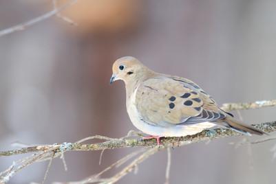 Tourterelle triste / Mourning dove