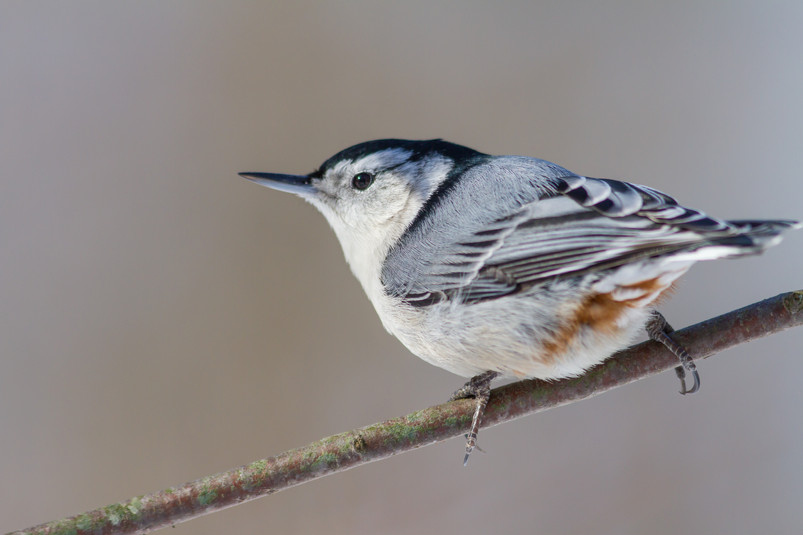 Sitelle à poitrine blanche / White breasted nuthatch