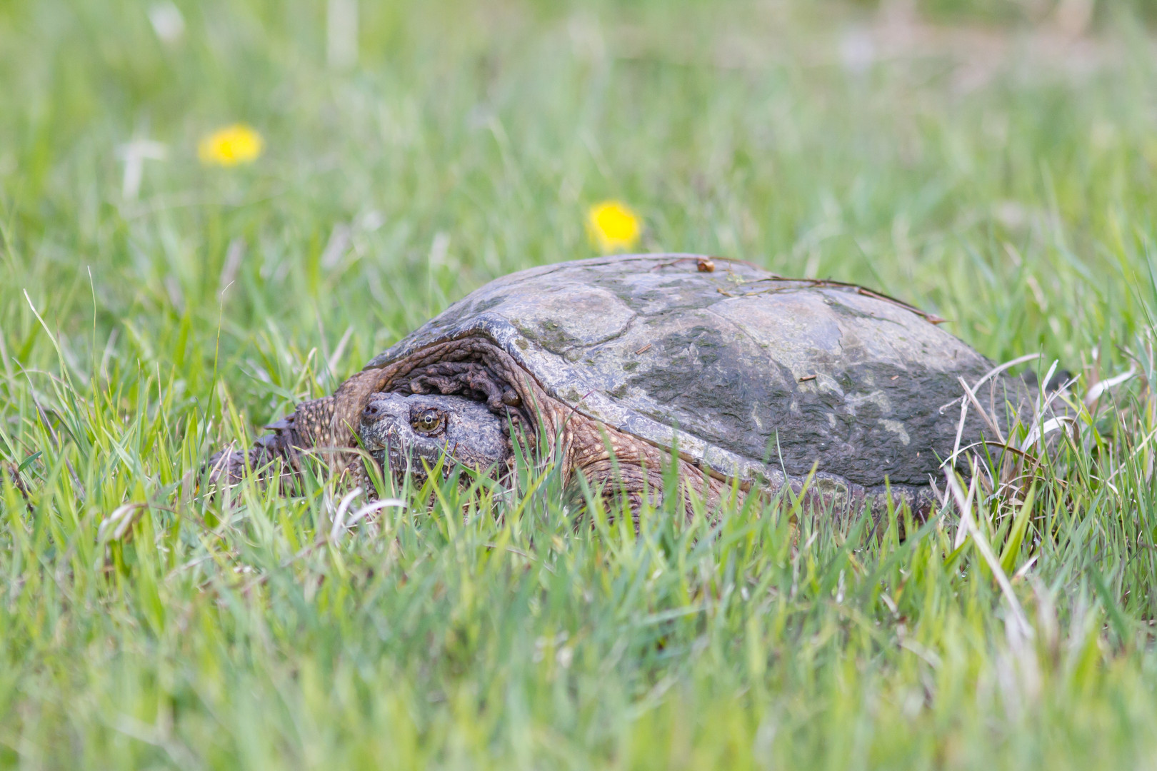 Tortue serpentine / Snapping turtle