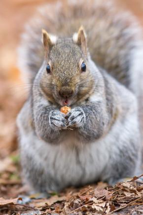 Ecureuil gris faisant ses réserves / Gray squirrel making reserves
