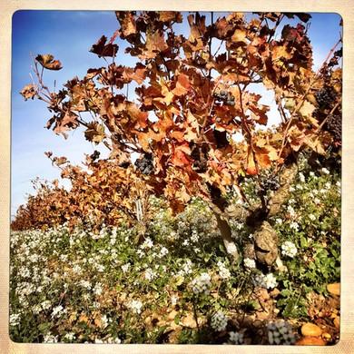 vignes-automne-galevan