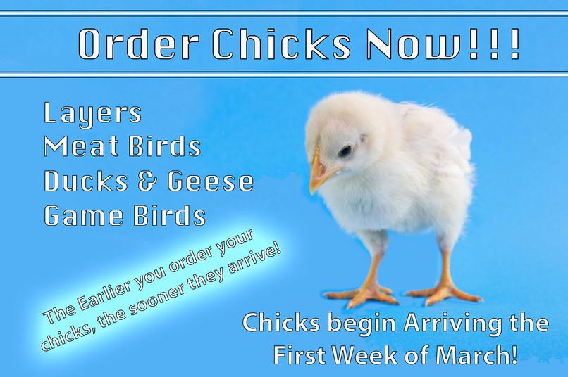 Order Chicks!