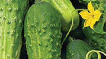 Seeds: Boston Pickling, Cucumber