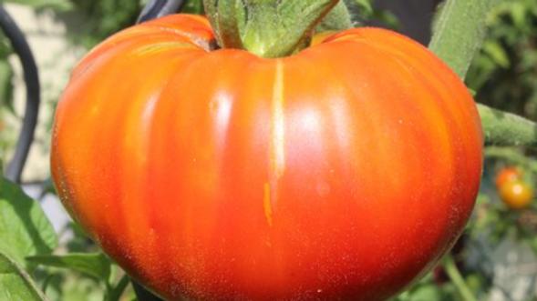 Seeds Beefsteak Tomato