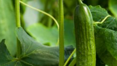 Double Yield, Cucumber