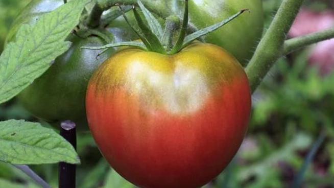 Seeds: Cherokee Purple Tomato