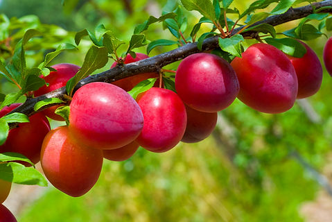 Beauty-Bright-Red-Plum.jpg