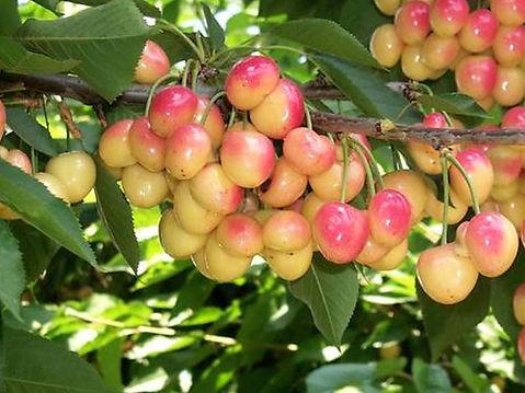 nursery-fruit-trees-Cherry-Royal-Ann.jpg