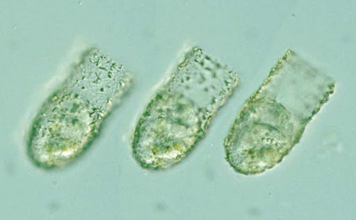 Tintinnidium sp.
