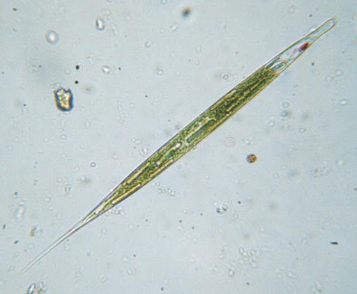 Euglena acus