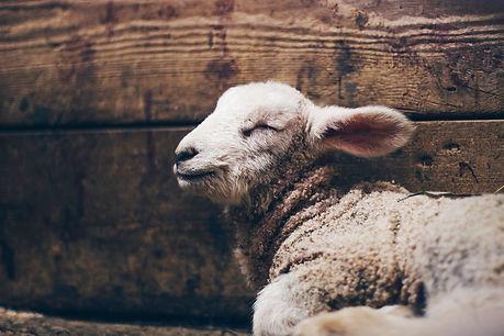passover lamb.jfif