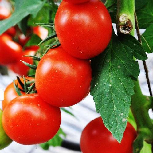 Tomaten  Geschmackstomate veredelt