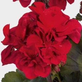 Geranium stehend rot  Abelina