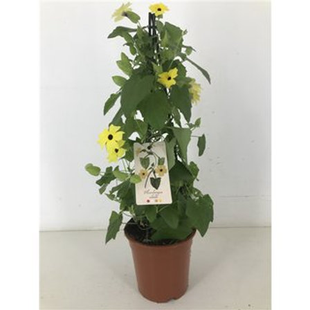 Thunbergia alata Suzie Yellow with Eye P19 H70