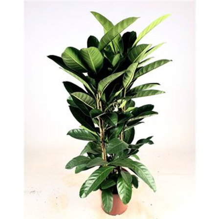 Ficus benghalensis Roy 140cm